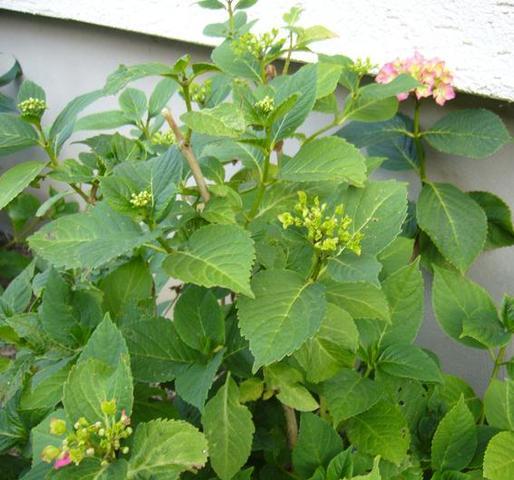 wie hei t diese pflanze mit rosa bl ten mit bild pflanzen fliegen blumen. Black Bedroom Furniture Sets. Home Design Ideas