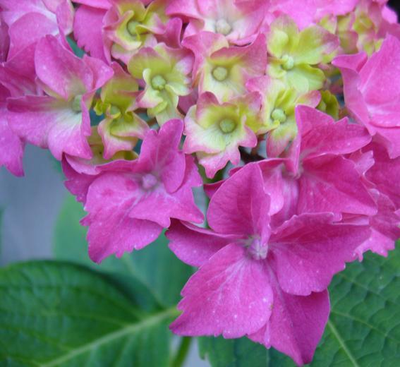 Wie hei t diese pflanze mit rosa bl ten mit bild for Fliegen in blumen