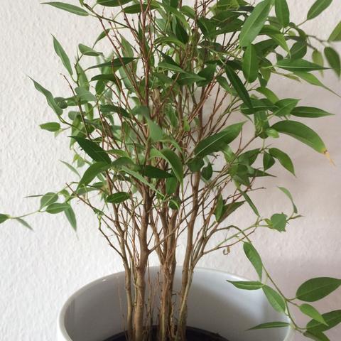 wie hei t diese pflanze verliert immer mehr bl tter. Black Bedroom Furniture Sets. Home Design Ideas