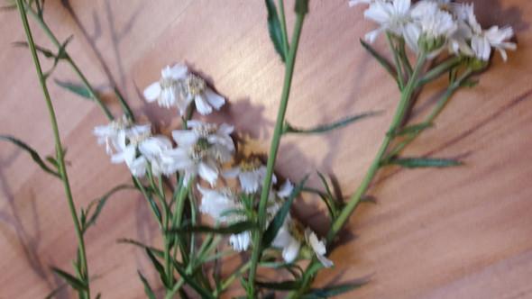 Wie heißt diese Pflanze (weiße Blüte, zackige Blätter)(Bild ...
