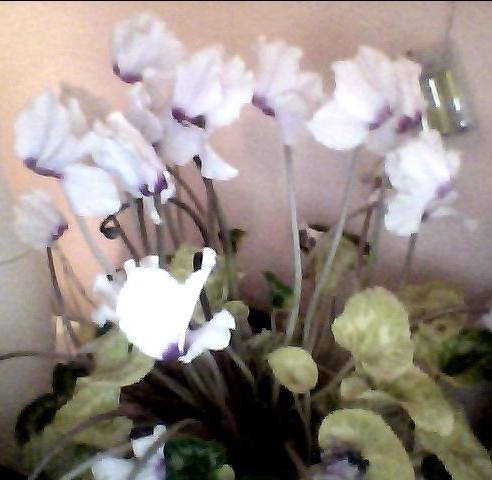 Blume - (Pflanzen, Natur, Blumen)