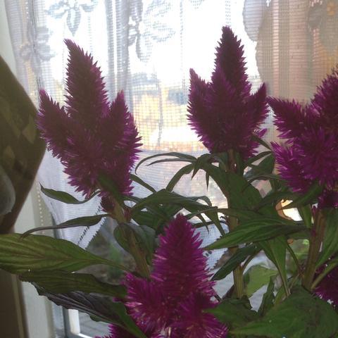 Wie heißt diese Pflanze  - (Pflanzen, Blumen, Grünzug)