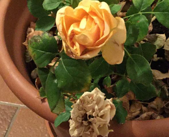 Rose  - (Garten, Blumen, Rosen)
