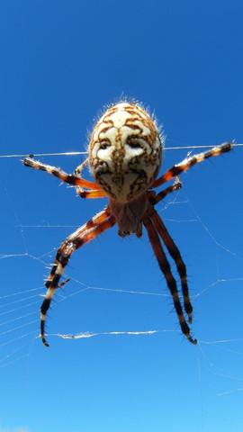 spinne auf teneriffa - (Spinne, Teneriffa, fauna)