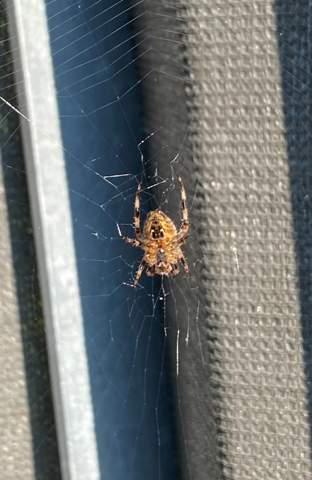 Wie heißt diese Spinne?
