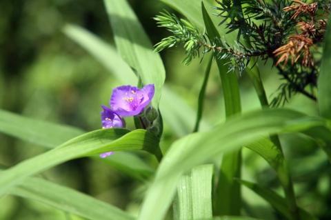 Wie heißt diese unbekannte lila Blume? (Garten, Pflanzen, Blumen)