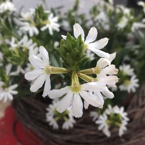 Wie heisst diese weisse Pflanze? (Garten, Pflanzen, Blumen)