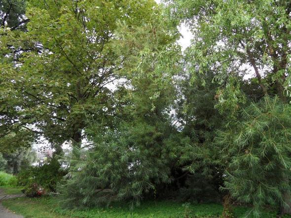 Gesamtansicht des Baumes - (Baum, Blaetter, Ufernähe)
