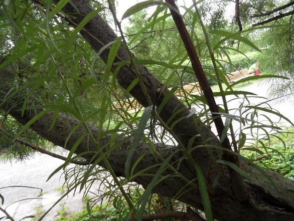 mit Stamm - (Baum, Blaetter, Ufernähe)