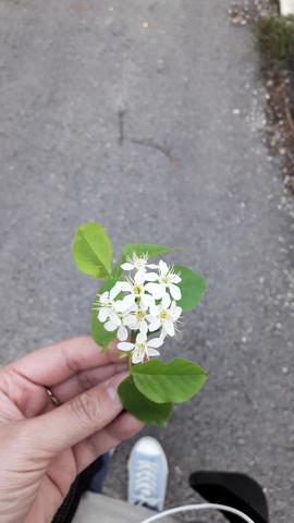 Wie heißt dieser Baum oder diese Blüten?