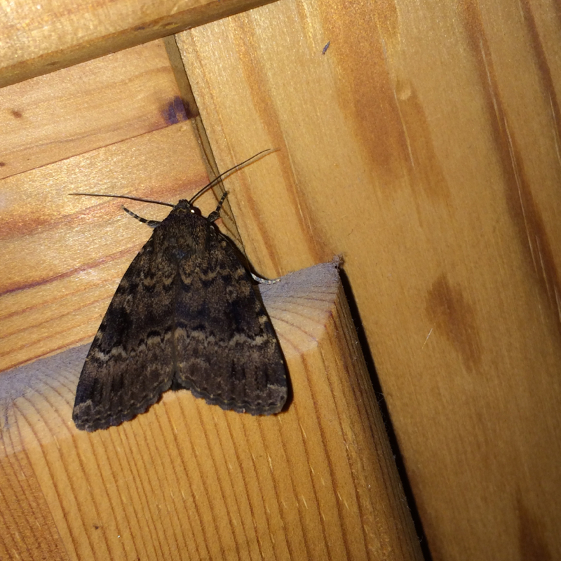 wie hei t dieser falter tiere natur insekten. Black Bedroom Furniture Sets. Home Design Ideas