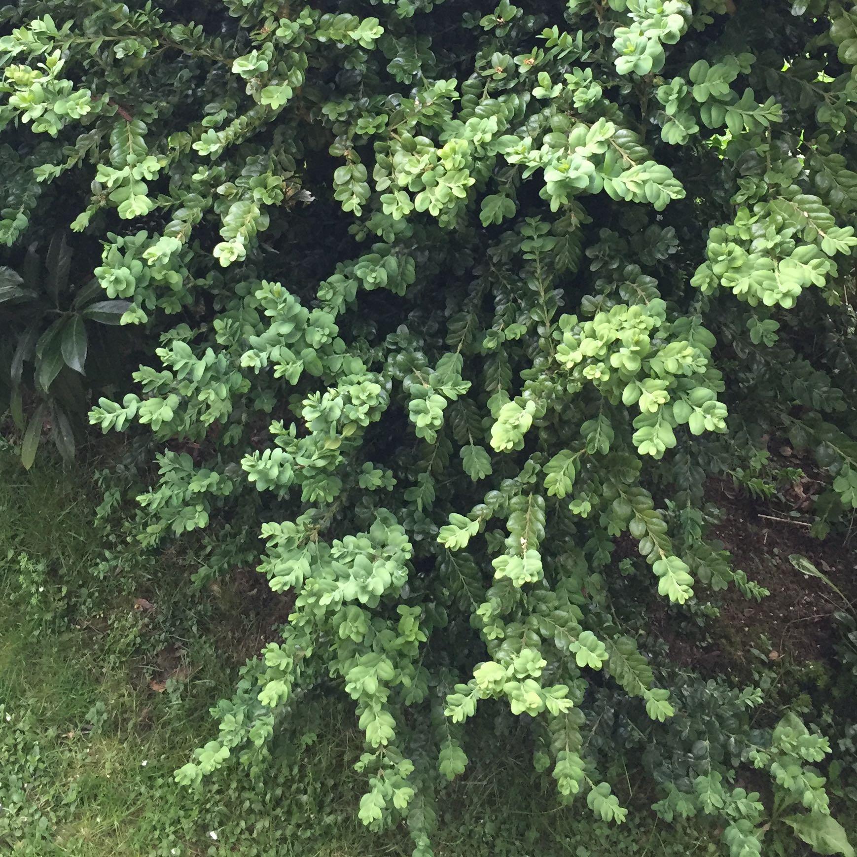 Wie heißt ser immergüne Busch immergrün