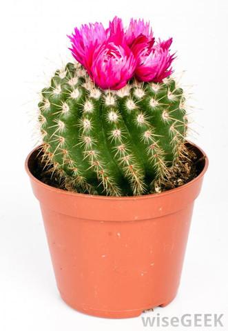 Wie heißt dieser Kaktus auf dem Bild hier?