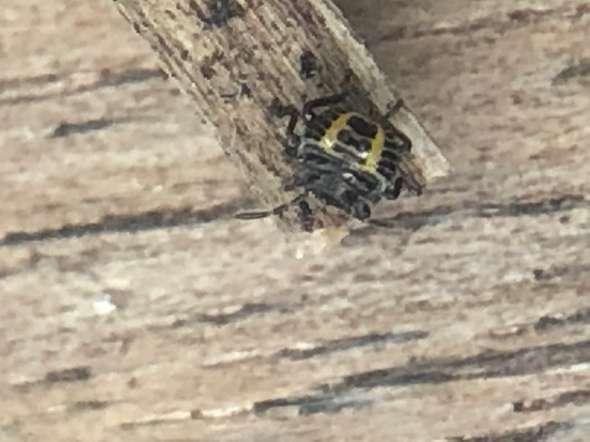 Wie heisst dieser kleine Käfer hier?