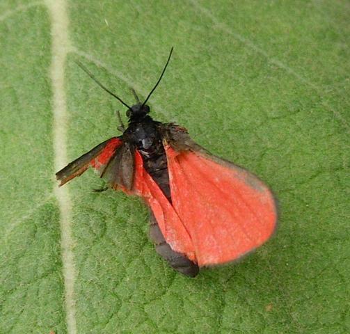 kleiner roter Falter - (Natur, Insekten, Schmetterling)
