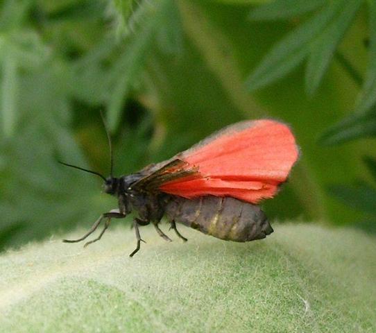 roter Falter, klein - (Natur, Insekten, Schmetterling)