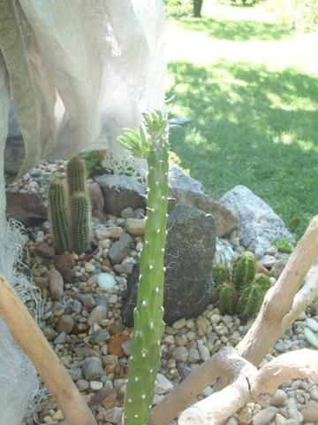 Kaktus - (Zimmerpflanzen, kaktus, Kakteen)