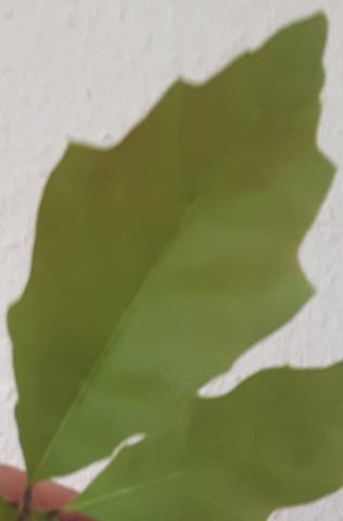 Blätter von oben - (Baum, Botanik, Nuss)