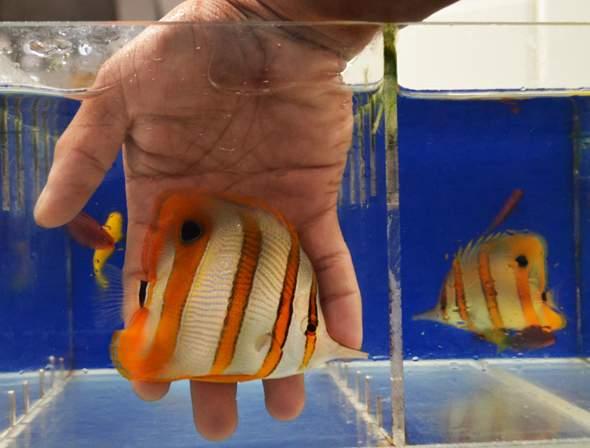 wie heißt dieser orange weiße fisch?