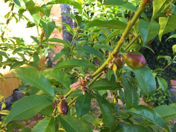 Wie heißt dieser Strauch? Früchte sind bräunlich?