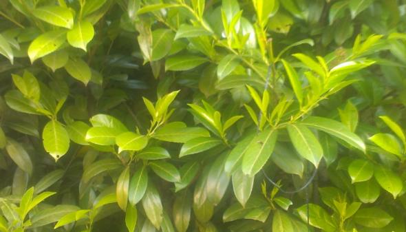 Strauch - (Garten, Pflanzen)