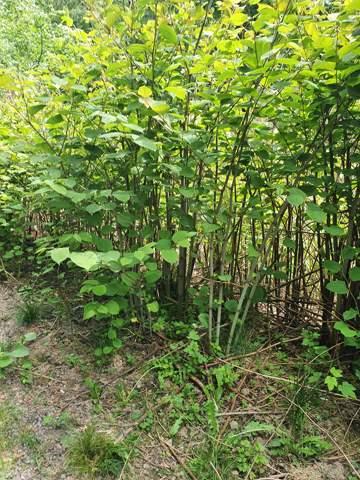 Wie heißt dieses Bambus artige  Gewächs?