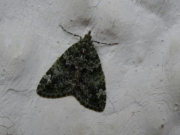 Wie heißt dieses Insekt / dieser Falter?