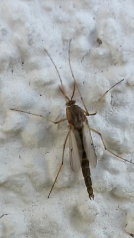 Wer kennt dieses Insekt ? - (Insekten, Mücken)