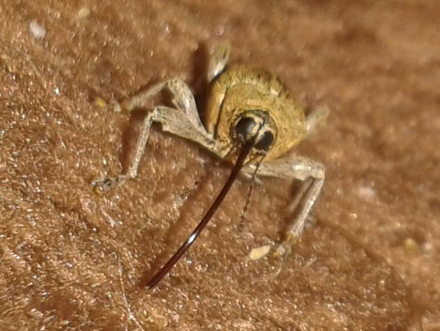 wie hei t dieses seltsame insekt 6 beine widerhaken. Black Bedroom Furniture Sets. Home Design Ideas