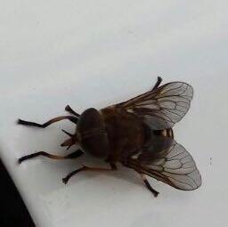 von vorne - (Tiere, Sommer, Bienen)