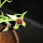 Kurz vorm Blühen - (Botanik, wiesenblume)