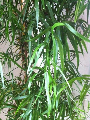 Nummer1 - (Pflanzen, Zimmerpflanzen)