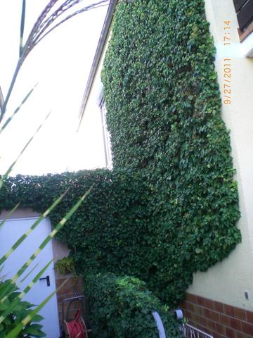 Ganz und zu Extrem Wie kann ich das Efeu an der Hauswand entfernen? (Garten, Pflanzen) #PN_72