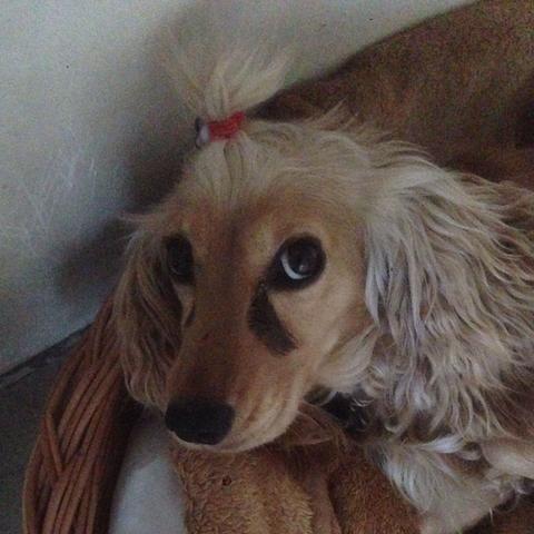 Den Zopf hat meine Schwester gemacht,allerdings hat der Hund es wieder abgemacht - (Hund, Pflege, Tränen)