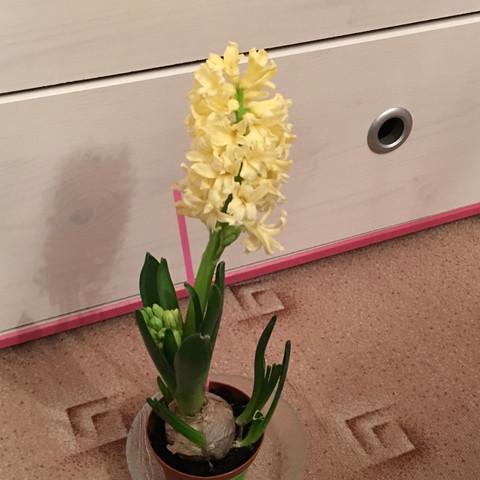 Hyazinthe  - (Blumen, Topf, umpflanzen)