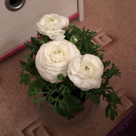 Ranunkel  - (Blumen, Topf, umpflanzen)