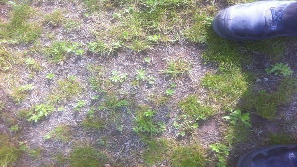 So sieht der Rasen größtenteils aus - (Garten, kaputt, wachsen)