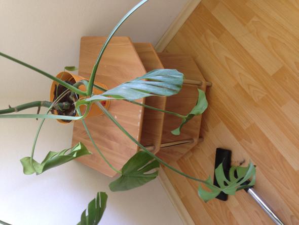 Wie kann ich diesen Philodendron noch retten bzw