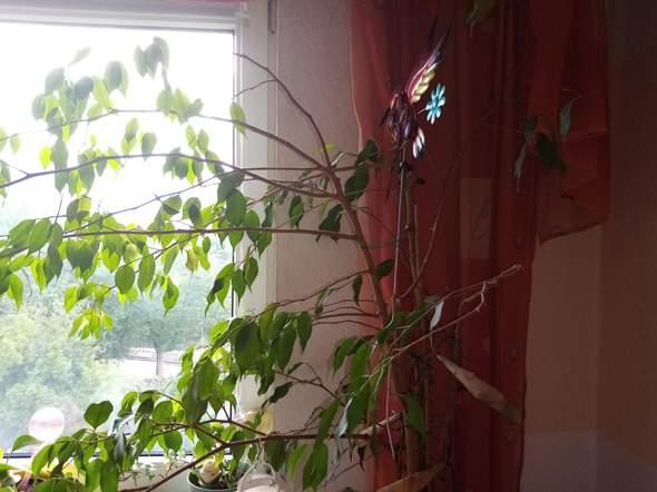 """Wie kann ich einen alten Ficus benjamin """"wiederbeleben""""?"""