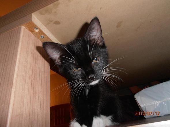 Rocky - (Katze, Katzen, Katzenbaby)
