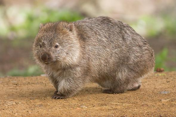 ein Wombat - (Natur, helfen, Karma)