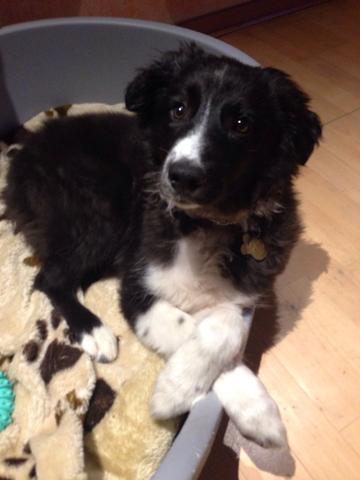 Das ist Aron! - (Hund, Welpen, Border-Collie)