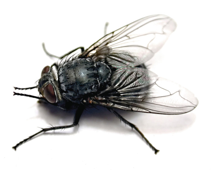 wie kann man die l stige fliege aus dem wohnung vertreiben insekten. Black Bedroom Furniture Sets. Home Design Ideas