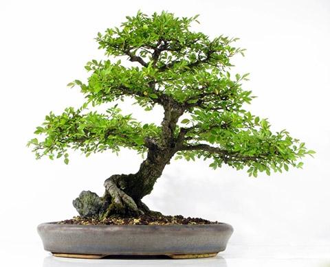 wie kann man einen bonsai baum in verschiedenen stufen. Black Bedroom Furniture Sets. Home Design Ideas
