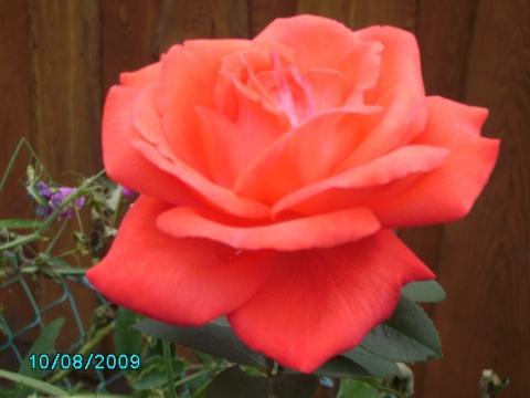 - (Garten, Rosen, flora)
