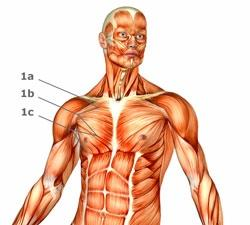 1a,1c,1b= Brustmuskeln - (Sport, Allgemeinbildung)