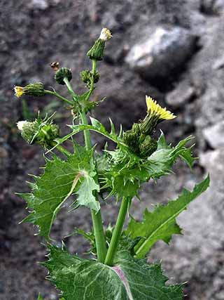 Schaut ohne Dornen an den blättern aus - (Pflanzen, Blumen)