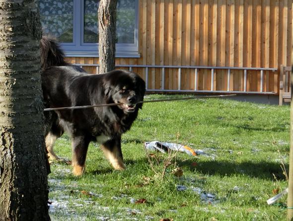 Do Khyi Jungspund - (Tiere, Hund, Tierarzt)