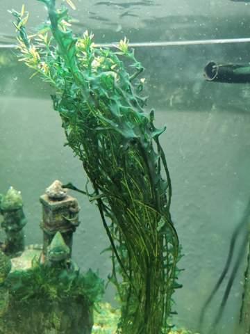 Wie kriege ich diese Algenart vom Aquarium weg ( Bildanhang )?