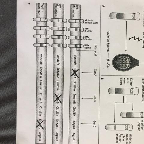 Wie lässt sich diese Grafik der Ein-Gen-Ein-Enzym-Hypothese lesen?